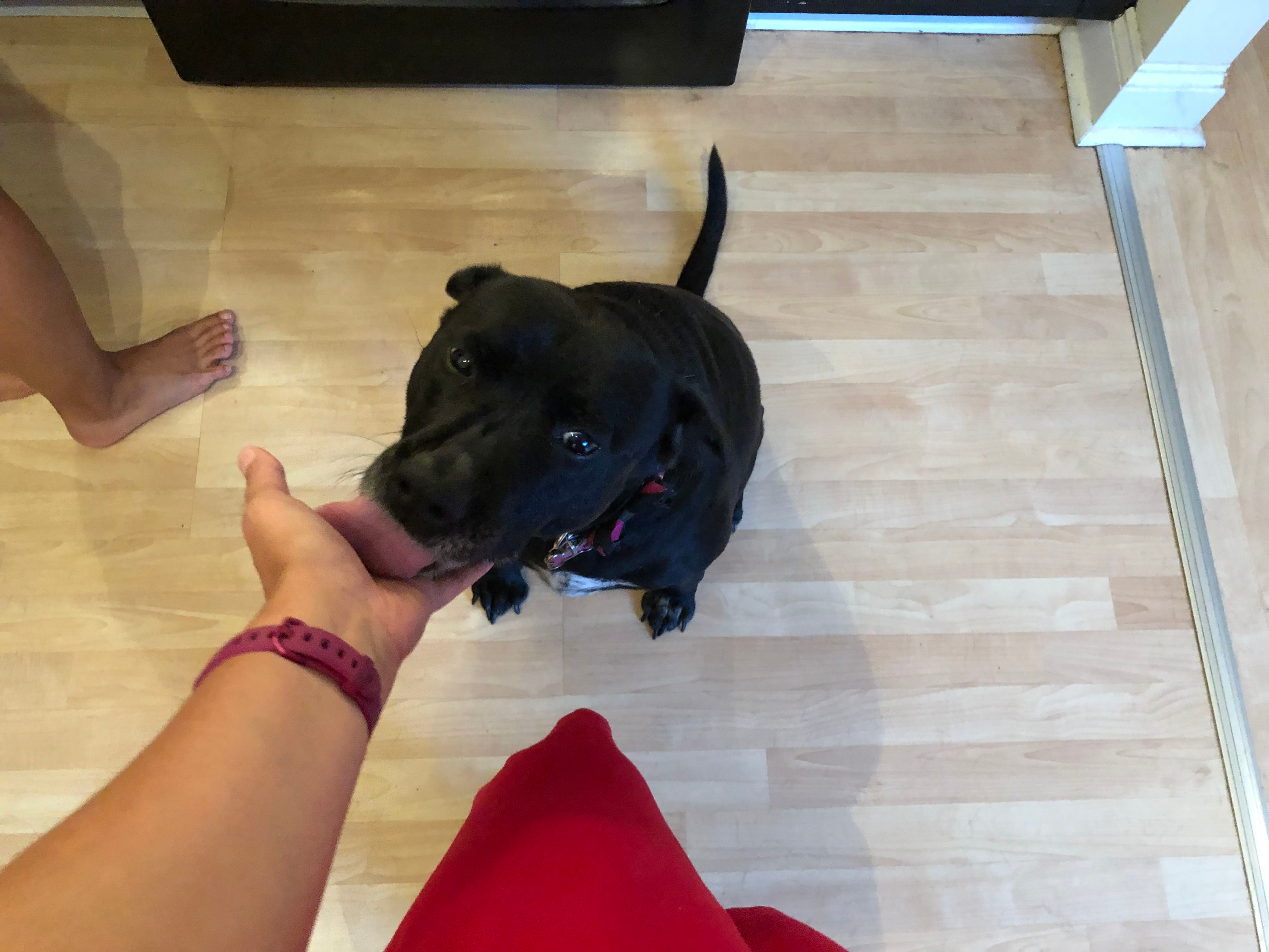 Black dog licking a person's hand